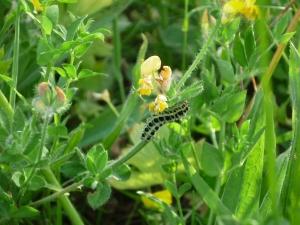 Caterpillar in Fiesole