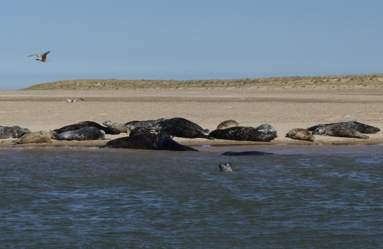 Seals at Blakeney Point, Norfolk